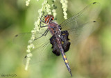 Black Saddlebags Tramea lacerata