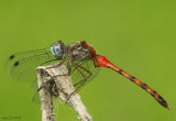 Blue-faced Meadowhawk Sympetrum ambiguum