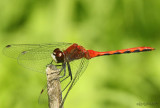White-faced Meadowhawk Sympetrum obtrusum