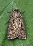 Swordsman Dart Moth Agrotis gladiaria #10648