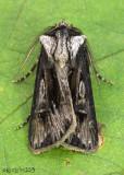 Venerable Dart Moth Agrotis venerabilis #10651