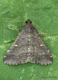Smoky Tetanolita Moth Tetanolita mynesalis #8366