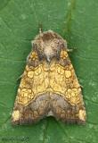 Burdock Borer Moth Papaipema cataphracta #9466