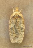 Thelma's Agonopterix Moth Agonopterix thelmae #0884