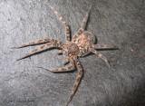 Fishing Spider - Dolomedes tenebrosus