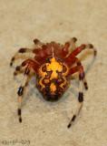 Marbled Orbweaver Araneus marmoreus Halloween Spider