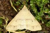 Discolored Renia Moth Renia discoloralis #8381