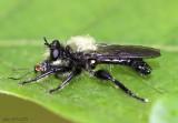 Robber Fly Laphria flavicollis