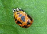 Lady Beetle pupa - Harmonia axyridis