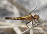 Little Blue Dragonlet - female Erythrodiplax minuscula
