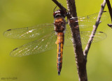 Sepia Baskettail - Epitheca sepia