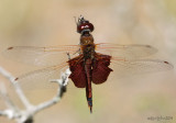 Carolina Saddlebags - Tramea carolina