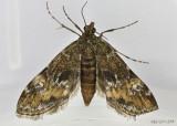 Waterlily Leafcutter Moth Elophila obliteralis #4755