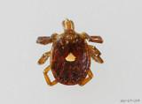 Lone Star Tick Amblyomma americanum female