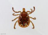 Lone Star Tick Amblyomma americanum male