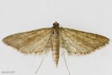 Watermilfoil Leafcutter Moth Parapoynx allionealis #4764