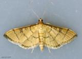 Hollow-spotted Blepharomastix Moth Blepharomastix ranalis #5182