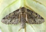 Georgian Prominent Moth Hyperaeschra georgica #7917