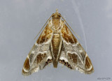 Wasp Parasitizer Moth Chalcoela pegasalis #4896