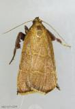 Parachma ochracealis #5538