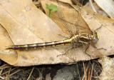 Lancet Clubtail female Phanogomphus exilis