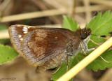 Hobomok Skipper female (Pocohontus form)