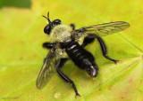 Robberfly Laphria flavicollis