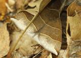Maple Looper Moth Parallelia bistriaris #8727