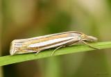 Eastern Grass-veneer Moth Crambus laqueatellus #5378