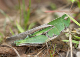 Northern Green-striped Grasshopper Chortophaga viridifasciata