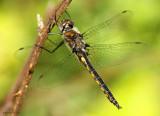 Common Baskettail Epitheca cynosura