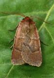 Hemipachnobia monochromatea #10993.1