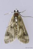 Polymorphic Pondweed Moth Parapoynx maculalis #4759