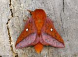 Spiny Oakworm Moth Anisota stigma #7716