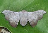 Melsheimer's Sack-bearer Moth Cicinnus melsheimeri #7662