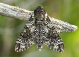 Pawpaw Sphinx Moth Dolba hyloeus #7784