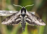 Apple Sphinx Moth Sphinx gordius #7810