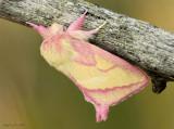 Pink Prominent Moth Hyparpax aurora #8022