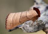 Yellow-necked Caterpillar Moth Datana ministra #7902