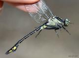 Skillet Clubtail Gomphurus ventricosus