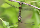 Sioux Snaketail Ophiogomphus smithi