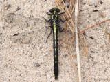 Rapids Clubtail Phanogomphus quadricolor