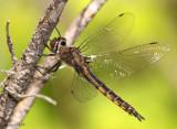 Spiny Baskettail Epitheca spinigera