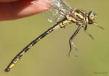 Dusky Clubtail Phanogomphus spicatus