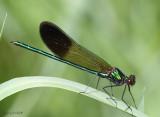 River Jewelwing Calopteryx aequabilis
