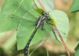 Splendid Clubtail Gomphurus lineatifrons