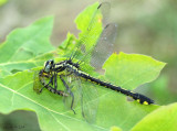 Splendid Clubtail Gomphurus lineatifrons eating Pygmy Snaketail Ophiogomphus howei