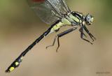 Midland Clubtail Gomphurus fraternus