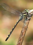Arrowhead Spiketail Cordulegaster obliqua
