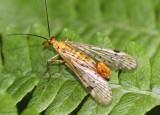 Common Scorpionfly - Panorpa